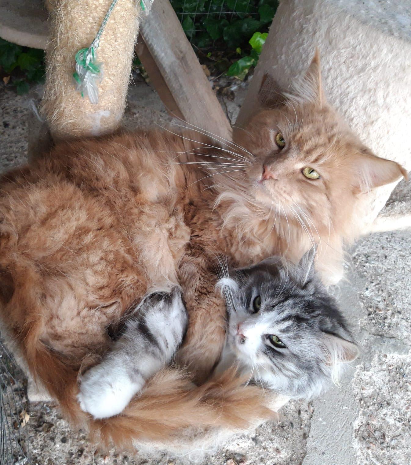 La nostra coppia di gatti Maine Coon: Mosé&Maddy
